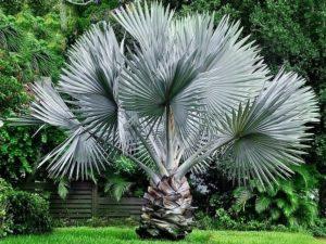 Kaktus Fotel Teściowej Echinocactus Grusonii