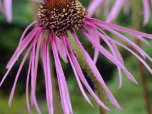 Rudbekia Jeżówka Blada (Echinacea Pallida)