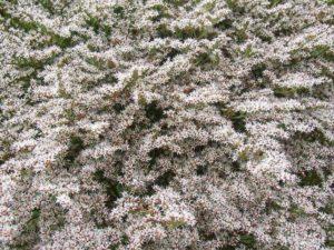 Zatrwian Tatarski Biały (Limonium Tataricum)