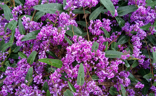 australijska wisteria dzika wisteria r owa hardenbergia violacea rosea. Black Bedroom Furniture Sets. Home Design Ideas